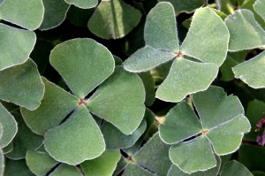 1381213_four_leaf_clovers.jpg