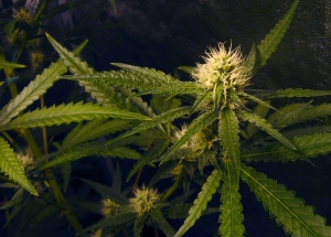 flowering-cannabis-plants---hydroponics-indoors-1431036-m.jpg