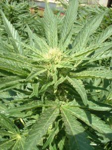 marijuana-plant-52691-m.jpg